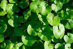 Sun, der auf grünem irischem Klee in Donegal Irland scheint Stockbild