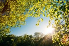 Sun, der in camera durch Frühlings-Überdachung des Baums scheint Laubwald Stockbild