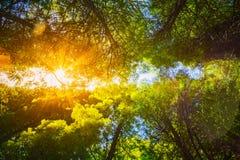 Sun, der durch Überdachung des hohe Baum-Holzes scheint Sonnenlicht in Deci Lizenzfreies Stockfoto
