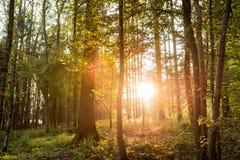Sun, der durch Bäume in einem Wald scheint Stockfotos