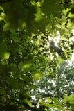 Sun, der durch Baumaste scheint Stockfoto