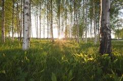 Sun, der durch den Birkenwald scheint Lizenzfreie Stockbilder