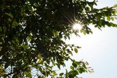 Sun, der durch die Bäume scheint Stockfotos