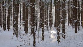 Sun, der durch die Kiefer bedeckt mit frischem Schnee im weißen Winterwald kommt stock video footage