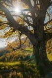 Sun, der durch die Niederlassungen eines alten Baums scheint Stockfotos