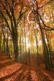 Sun, der durch einen Herbstwald strahlt. Stockfotos