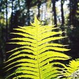 Sun, der durch Farnblatt scheint Valaam-Wald gealtert Stockfotos