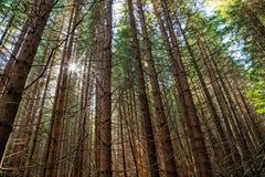 Sun, der durch Forest Trees scheint Stockbild