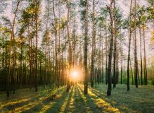 Sun, der durch Forest Trees Woods scheint Sonnenuntergang-Sonnenaufgang im Sommer Stockbild