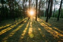 Sun, der durch Forest Trees Woods scheint Sonnenuntergang-Sonnenaufgang im Sommer Lizenzfreies Stockbild