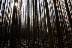 Sun, der durch gebrannte Bäume des dichten Waldes scheint Lizenzfreie Stockbilder