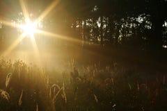 Sun, der durch Kiefernholz scheint Stockbilder
