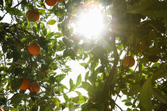 Sun, der durch Orangenbaum scheint Lizenzfreie Stockbilder