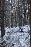 Sun, der durch schneebedeckten Wald scheint Stockfotografie