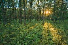 Sun, der durch Stämme in grünem Forest Over Fresh Grass scheint Sommer Lizenzfreies Stockbild