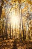 Sun, der hinter Herbstbäume glüht Lizenzfreie Stockfotos