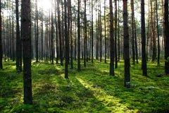 Sun, der im Sommerwald scheint Stockbild