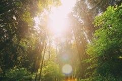 Sun, der in Sommer-Forest Through Canopy Of Tall-Bäumen scheint Oben schauen lizenzfreie stockfotografie