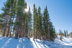 Sun detrás de árboles altos en nieve Imagen de archivo libre de regalías