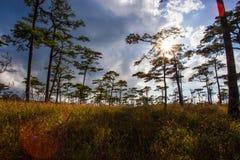 Sun detrás de árboles de pino con la llamarada en Phu Soi Dao Imágenes de archivo libres de regalías