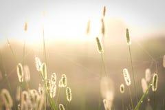 Sun di mattina che colpisce le erbacce immagini stock