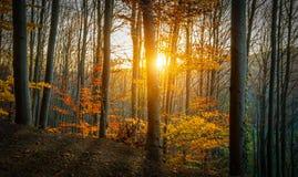 Sun dourado através da floresta Imagem de Stock Royalty Free