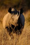 Sun-Down Stare-Down. This Black Rhino gave a mock charge in the golden sunset light Royalty Free Stock Photos