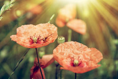 Sun-drenched red poppy Royalty Free Stock Photography
