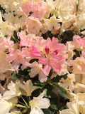 Sun drenched rhododendrons Royalty Free Stock Photos