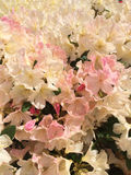 Sun drenched rhododendrons Stock Image