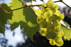 Sun drenched vine grapes Stock Image