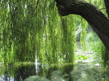 Sun drenched weeping willow tree. The sun illuminates a porous blanket of weeping willow leaves above a blissfully calm botanic lake royalty free stock photography