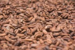 Sun-dried cocoa beans Stock Images