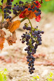 Sun dried ripe red wine grape ready to harvest Royalty Free Stock Image