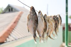 Sun-dried salted fish in the air. In the park in nature Royalty Free Stock Image