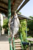 Sun-dried salted fish in the air. In the park in nature Stock Photo