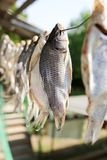 Sun-dried salted fish in the air. In the park in nature Stock Photography