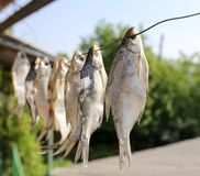 Sun-dried salted fish in the air. In the park in nature Stock Image