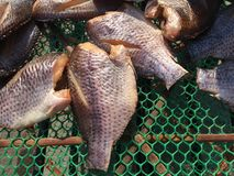 snakeskin gourami fish royalty free stock images