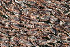 Sun drying fish. For Vietnamese fish sauce Stock Image