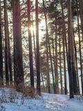 Sun durch die Kiefern im Winterwald lizenzfreie stockfotografie