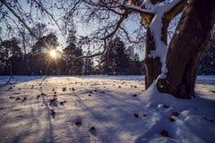 Sun e árvores nevados imagens de stock