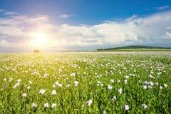 Sun e campo del papavero Immagini Stock