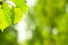 Sun e folhas Foto de Stock