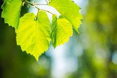 Sun e folhas Fotografia de Stock