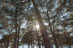 Sun e pini Fotografia Stock