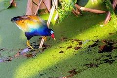 Sun-Einstellung auf einem Schienen-Vogel Stockfotografie