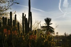 Sun-Einstellung hinter blühenden Kaktuspflanzen in Phoenix, Arizona stockbild