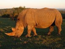 Sun a embrassé le rhinocéros. Images stock