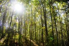 Sun en el bosque Imagen de archivo